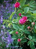 Historische Portland Rose