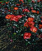 Rosa 'Playboy' (Floribundarose)