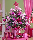 Picea pungens (Stechfichte) als lebendiger Weihnachtsbaum im Topf