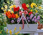 Tulipa (Tulpen), Narcissus (Narzissen) im weißen Holzkorb mit Henkel