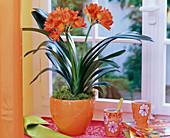 Clivia (Klivie) in orangem Übertopf am Fenster, Bechertassen, Bücher