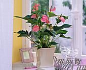 Anthurium 'Pink Champion' (Flamingoblume) in viereckigem Übertopf am Fenster