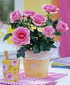 Rosa (Topfrose) mit Manschette aus Tortenspitze auf dem Tisch, Bechertasse