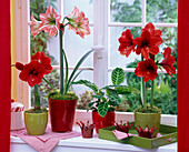 Hippeastrum (Amaryllis) in rot und gestreift am Fenster