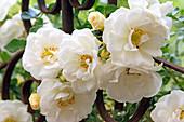Rosa 'Diamant' (Beetrose), ADR-Rose 2002, öfterblühend, robust, von Kordes