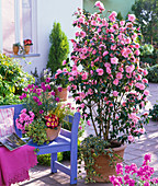 Camellia 'Spring Festival' (rosa Kamelie)