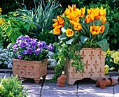 Tulipa 'Flair' (Tulpen), Viola wittrockiana Bingo 'Clear Azure'