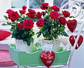 Rosa (Topfrosen) mit roten Herzen