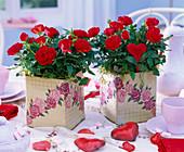 Rosa (rote Topfrosen) in viereckigen Schachteln mit Rosenmotiv