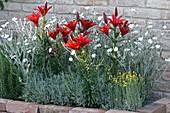 Lilium 'Pixie Red' (Lilien), Lychnis coronaria 'Alba' (Vexiernelke)