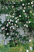 Rosa 'New Dawn' (Kletterrose), öfterblühend mit zartem Apfelduft