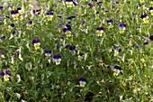 Viola tricolor (Wildes Stiefmütterchen)
