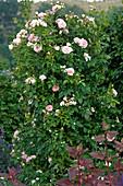 Rosa 'Kir Royal' -(Kletterrose)- ADR Rose öfterblühend - duftend