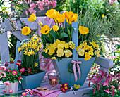 Tulipa (Tulpen), Viola wittrockiana Bingo 'Clear Yellow'