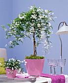 Jasminum polyanthum (Jasmin) als Stämmchen in rosa Übertopf auf dem Tisch