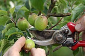 Fruit thinning at malus (apple tree)