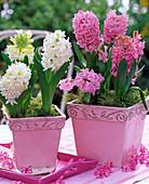 Hyacinthus (weiße und rosa Hyazinthen)