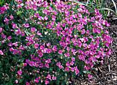Arabis caucasica 'Deep Rose' (Gänsekresse) mit pinken Blüten