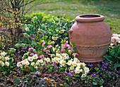 Helleborus (Lenzrosen), Primula acaulis (Frühlingsprimeln)