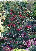 Camellia japonica 'Black Lace' (Kamelie)