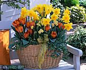 Narcissus 'Carlton' 'Minnow' (Narzissen), Tulipa 'Princess Irene'