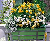 Weiß-gelb bepflanzter Frühlingskasten: Narcissus 'Tete a Tete'