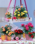 Rosa (Topfrosen), rot, pink, gelb und orange