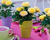 Rosa (Topfrosen), gelb in bunten Übertöpfen