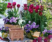 Tulipa 'Negrita' (Tulpen), Viola wittrockiana Bingo
