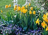 Tulipa 'Golden Apeldoorn' (Tulpen), Narcissus (Narzissen)