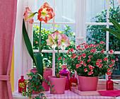 Hippeastrum 'Appleblossom' 'Phönix' (Amaryllis)in rosa Übertöpfen