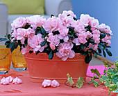 Rhododendron simsii (Zimmerazaleen)