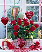Rosa (Topfrose) am Fenster, dekoriert