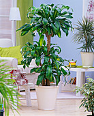 Dracaena fragrans 'Massangeana' (Drachenbaum)