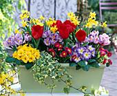 Hellgrünen Kasten mit Frühlingsblumen bepflanzen: 2/2