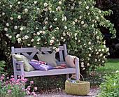 weiße Holzbank unter Rosa alba 'Maxima' (Strauchrose)