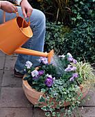 Schale mit Tulpen, Efeu und Viola bepflanzen: 6/7