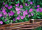 Geranium gracile - Hybride 'Sirak' (Storchschnabel)