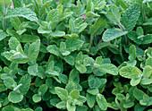 Mentha suaveolens 'Variegata' (Ananasminze)