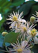 Clematis vitalba (Gewöhnliche Waldrebe)