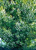 Prunus padus (Traubenkirsche) mit weißen Blüten