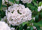 Kalmia latifolia (Lorbeerrose, Berglorbeer)