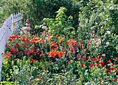 Rot - oranges Beet mit Lilium 'Orange Pixie' (Lilien), Phygelius capensis