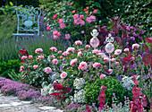 Rosa 'Botticelli' (Kleinstrauchrose), sehr gesund