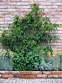 Actinidia arguta 'Issai' (Kiwi), selbstffruchtbare, winterharte