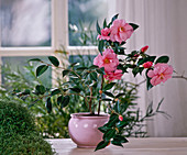 Camellia - Hybride 'BARBARA Clark' (Kamelie), SOLEIROLIA