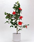 Camellia JAPONICA (Kamelie) IN WEISSEM Übertopf