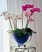 PHALAENOPSIS - HYBR. (Schmetterlingsorchideen) auf Tisch
