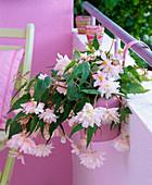Begonia tuberhybrida (Knollenbegonie) in Hängetopf am Balkongeländer