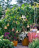 Datura syn. Brugmansia (Engelstrompeten) unterpflanzt